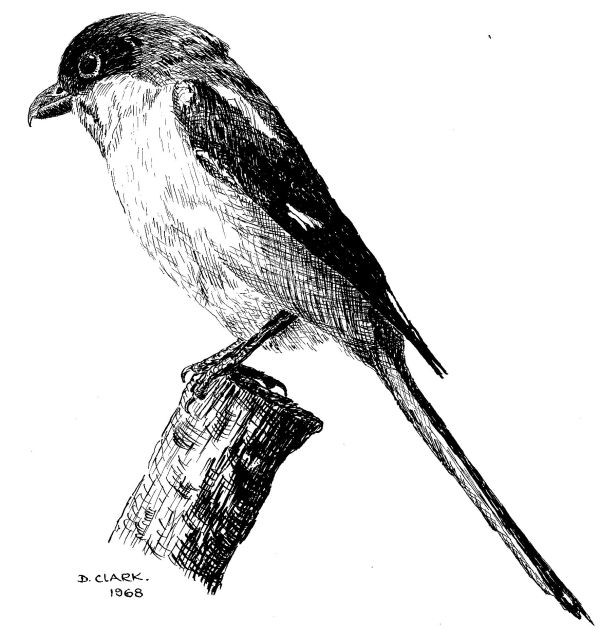 Pen and ink drawing example of a Shrike bird