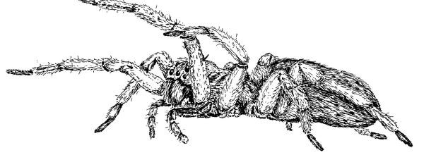 Pen and ink drawing of a spider
