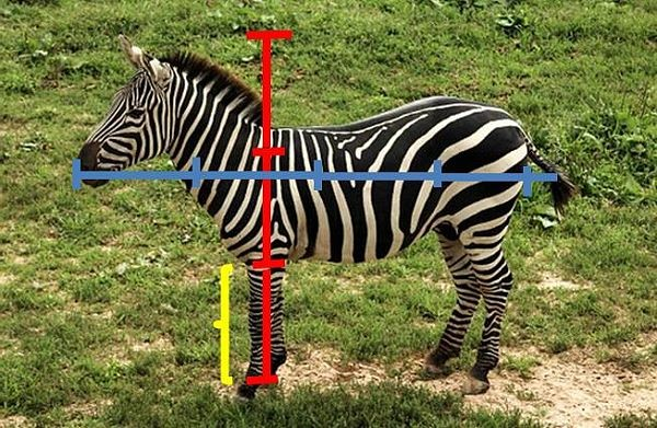 zebra with standard measurements indicated